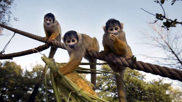 Squirrel monkeys in Meet the Monkeys at ZSL London Zoo