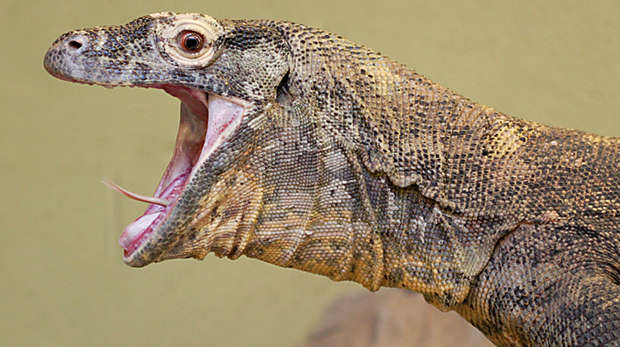 A komodo dragon roaring at ZSL London Zoo