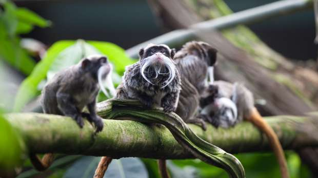 An emperor tamarin group at ZSL London Zoo