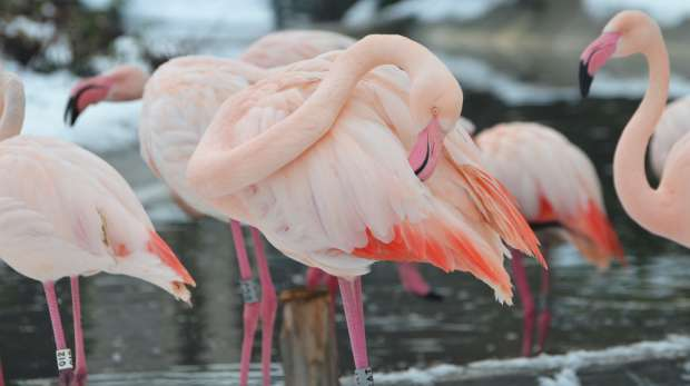 Flamingos in the snow at ZSL London Zoo
