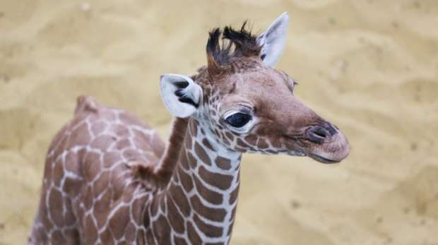 Willow the female giraffe calf at ZSL Whipsnade Zoo