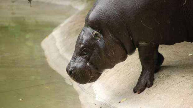 A pygmy hippo at ZSL London Zoo