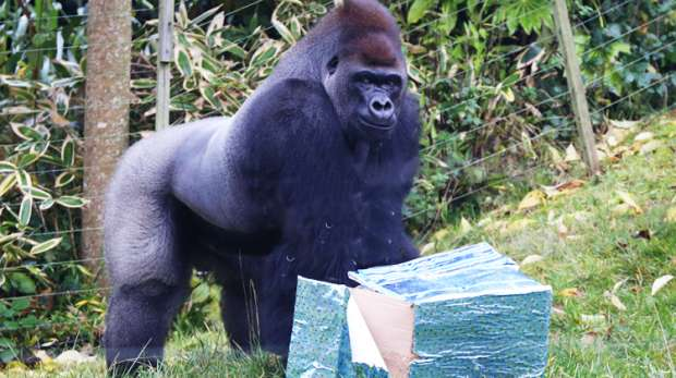 Kumbuka celebrates his birthday at ZSL London Zoo 2013