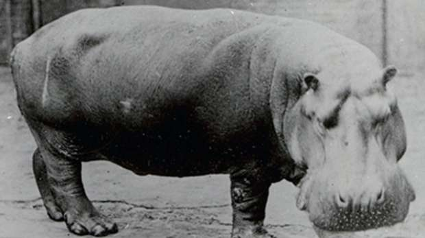 Obaysch, the common hippo, by Frederick York, circa 1870.