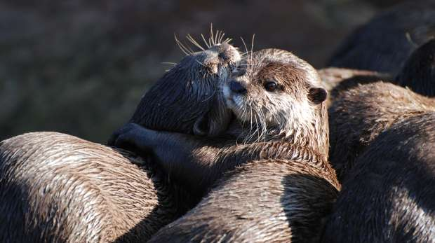 Otters cuddling at ZSL London Zoo