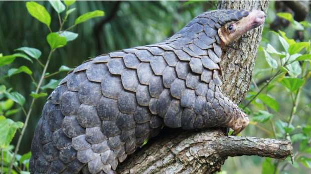 A Chinese Pangolin