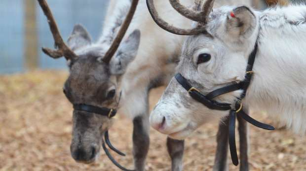 A reindeer at ZSL London Zoo