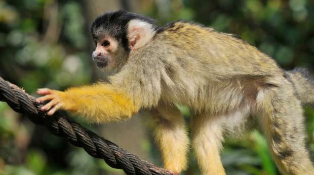 Squirrel monkey at ZSL London Zoo