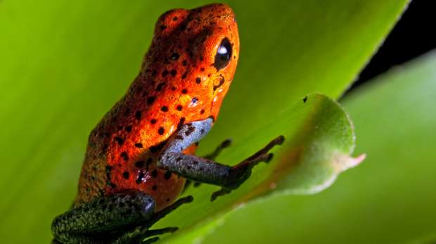 Strawberry Dart Frog