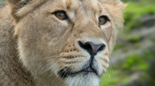 A close-up of a lioness at ZSL London Zoo