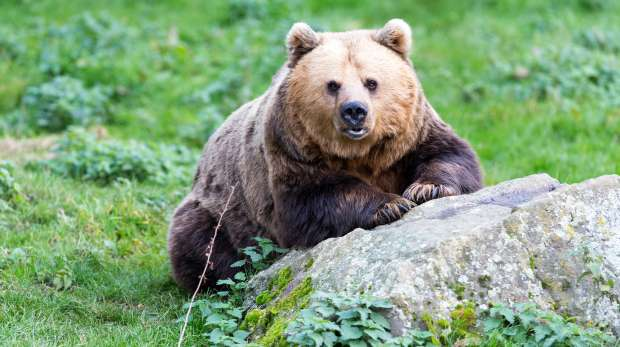 A brown bear at ZSL Whipsnade Zoo