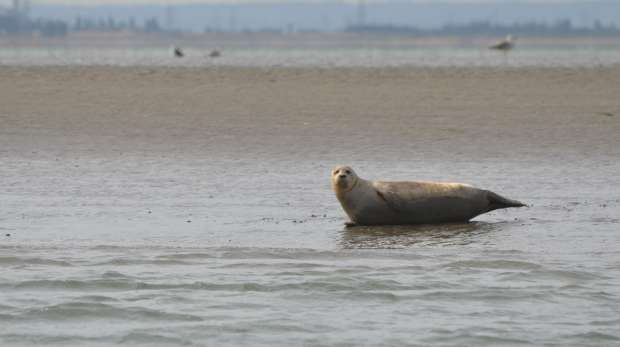 Harbour Seal in the Thames