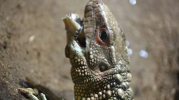 Caiman lizard eating a snail at ZSL London Zoo's Reptile House.