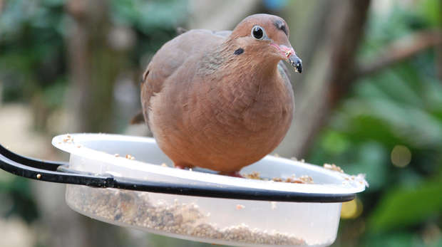 Socorro Dove at ZSL London Zoo