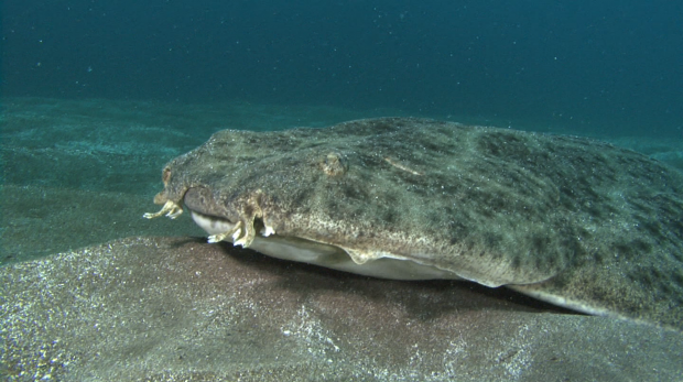 Angel Shark in sand