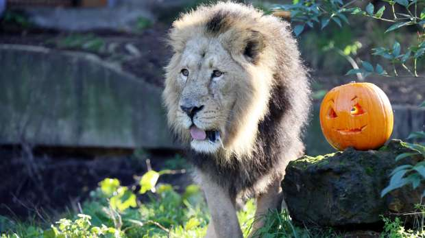 Lucifer the lion stands next to a Halloween pumpkin at ZSL London Zoo