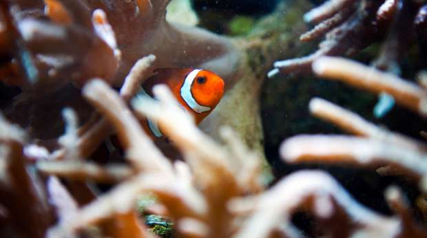 A False Clownfish in the Aquarium House at ZSL London Zoo.