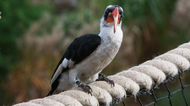 A Von Der Decken's Hornbill in the African Bird Safari
