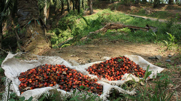 Indonesia - Oil palm fruit in piles