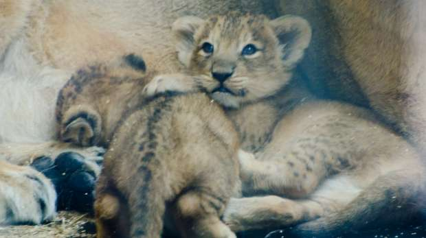 Lion cubs Heidi and Indie go outside for the first time with mum Abbey at ZSL London Zoo.