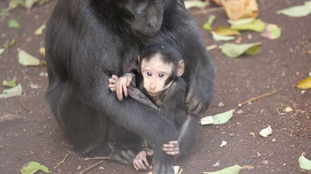 Baby macaque with his mum, born at ZSL London Zoo in December 2013
