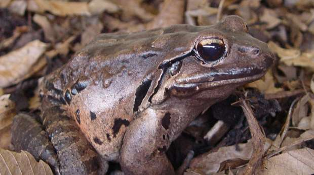 A Mountain Chicken Frog; Leptodactylus fallax.