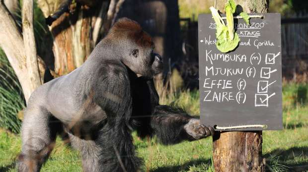 Kumbuka looks at sign in Gorilla Kingdom at ZSL London Zoo annual stock take 2013