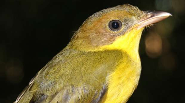 Oriole Whistler - Solomon Islands