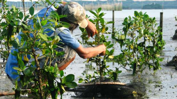 Planting mangroves in the Philippines
