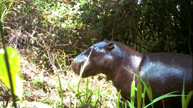 Pygmy Hippo caught in camera trap