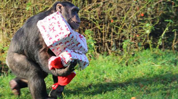 Chimpanzee carrying away Christmas present at ZSL Whipsnade Zoo