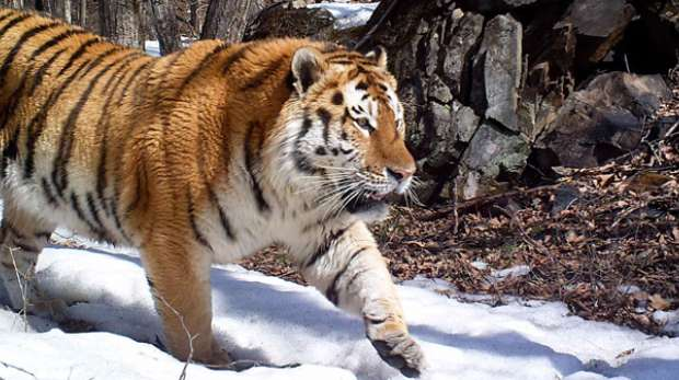 Amur tiger in camera trap