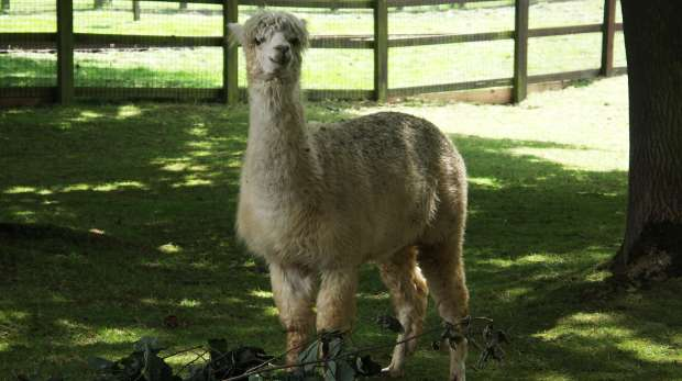 A happy alpaca at ZSL Whipsnade Zoo farm