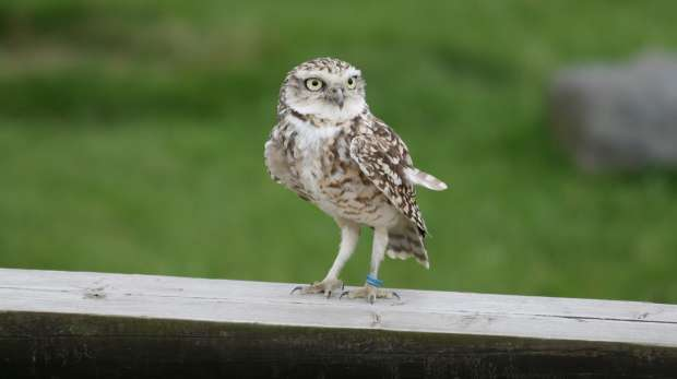 A burrowing owl at ZSL Whipsande Zoo