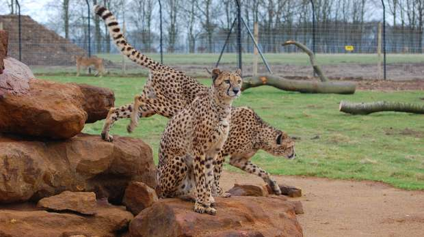A cheetah at ZSL Whipsnade Zoo
