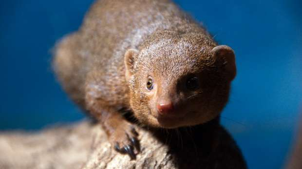 A mongoose at ZSL Whipsnade Zoo