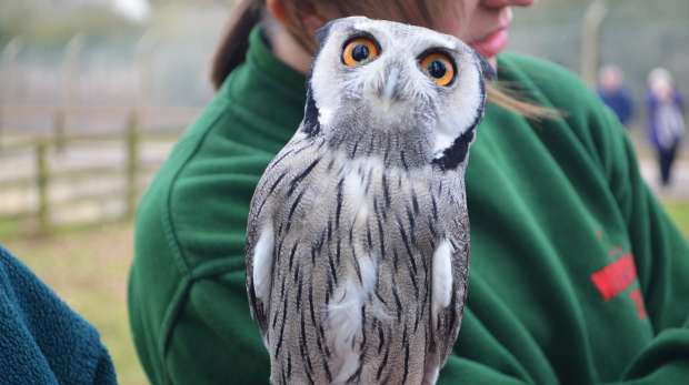 White faced scops owl at ZSL Whipsnade Zoo