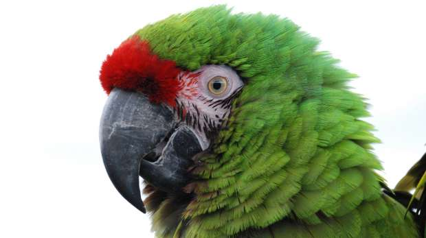 Great Green Macaw at ZSL Whipsnade Zoo