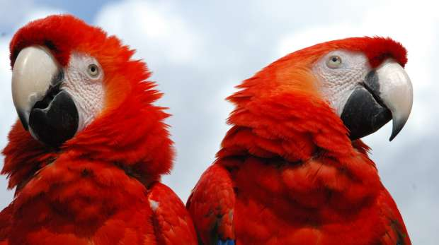 Green-winged Macaws at ZSL Whipsnade Zoo