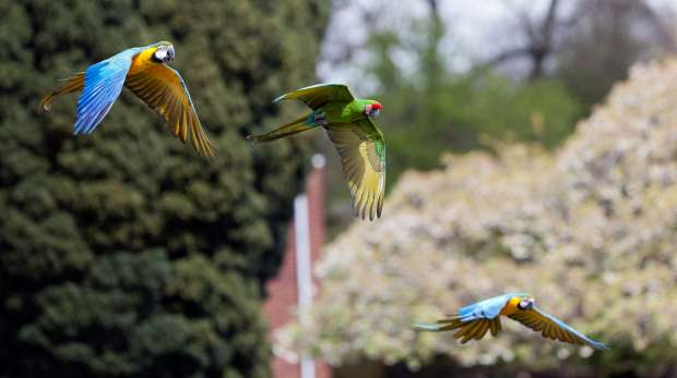 Flying macaws at ZSL Whipsnade Zoo