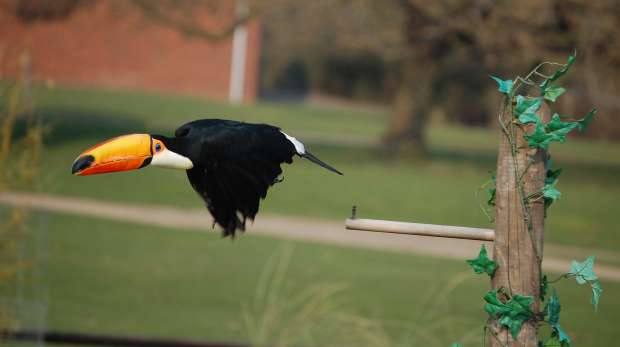 Toco toucan demonstration at ZSL Whipsnade Zoo