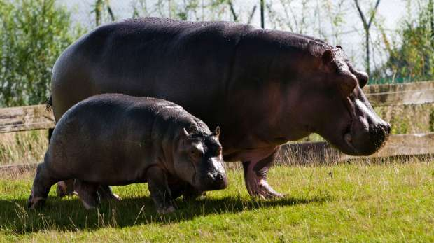 Common Hippopotamus and baby at ZSL Whipsnade Zoo