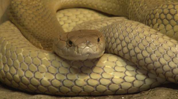 Close up of King cobra