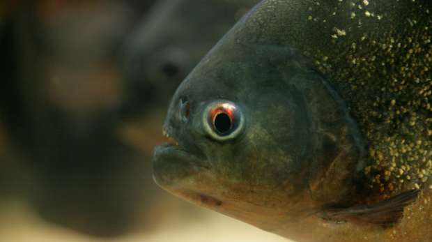 Red-bellied Piranha at ZSL London Zoo