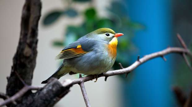A Pekin Robin in the Blackburn pavilion at ZSL London Zoo.