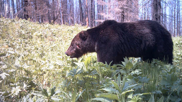Brown bear camera trap photograph