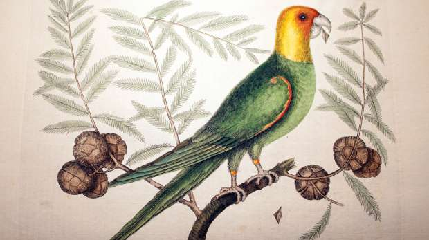 Carolina Parakeets by Mark Catesby
