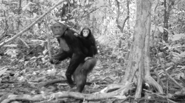 Chimpanzee on camera trap with baby