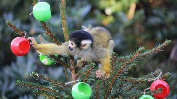 Squirrel monkey eating treats from a Christmas Tree enrichment at ZSL London Zoo