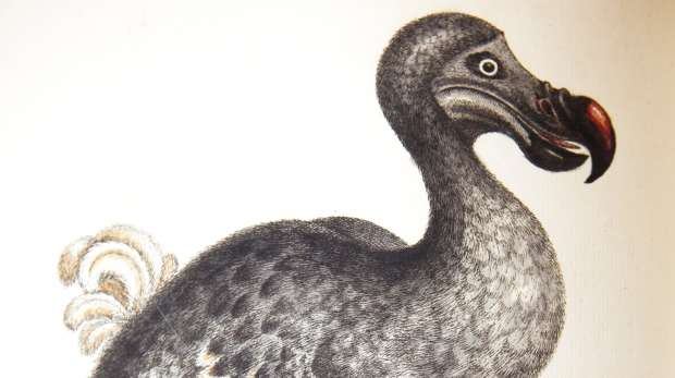 A dodo by George Edwards, 1743-76.